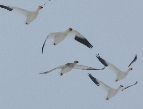 With Fall hunting season drawing to end–Next up Spring Snow Goose season!!